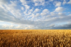 Agricultural wheat field under blue sky. Rich harvest theme. Rural autumn landscape with ripe golden wheat.