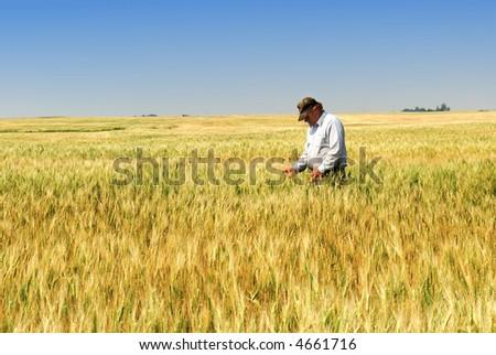 Agriculture:  a prairie farmer inspects durum wheat field approaching maturity.