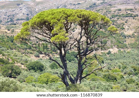 Agriculture and Olive Groves determine the picture on Crete. A beautiful tall tree surrounded by olive trees in the mountains on the south west side of Crete