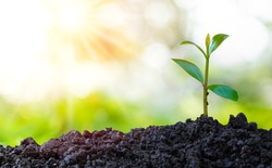 Agriculture and plant grow sequence with morning sunlight and green blur background. Germinating seedling grow step sprout growing from seed. Nature ecology and growth concept with copy space.