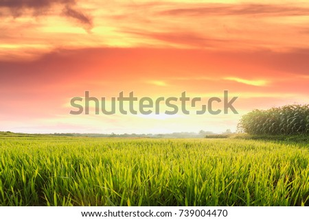 agriculture area rice fields of green with   in morning orange light sunrise #739004470