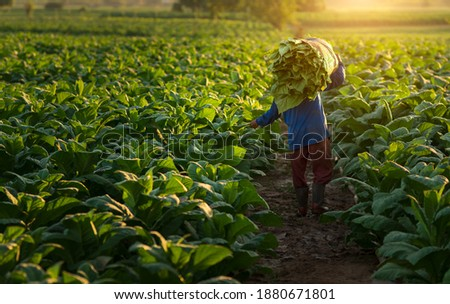 Agriculture carrying the harvest of tobacco leaves in the harvest season.farmer collect tobacco leaves.Farmers were growing tobacco in converted tobacco growing in thecountry thailand Vietnam