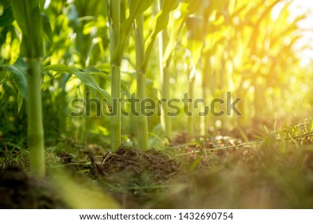 Photo of  agriculture corn plant field. maize corn seedlings on sun light.