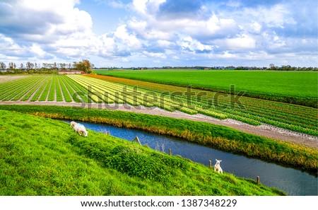 Agriculture farm field river landscape view. Sheep herd at agriculture field river. Sheeps at agriculture field river. Agriculture field river view