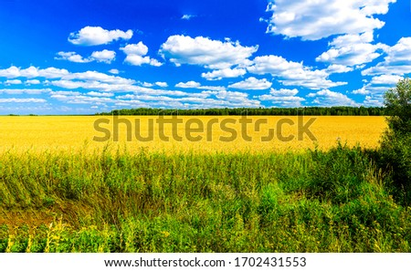 Agriculture farm wheat field in sunny day. Agriculture wheat field view. Agriculture farm field landscape