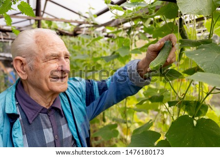 Agriculture, farming and gardening concept. Old senior man holding and checking cucumber at farm greenhouse.