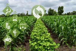 Agriculture fiel with Crop rotation and modern agriculture concept. Crop rotation of maize and legumes. Technology concept in agriculture. Companion planting in agriculture.
