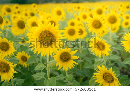 Agriculture field of sunflowers background in India. Sunflower is an oil seed crop grown in temperate countries. Its oilseeds occupy important position in Indian agriculture economy for decades.