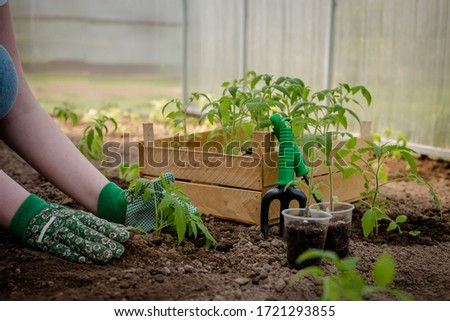 Agriculture, gardening. Girl gen z planted tomato seedlings in a greenhouse. Hobbies, remote work in quarantine in a virus. Slow life, digitally detox. Agriculture background ストックフォト ©