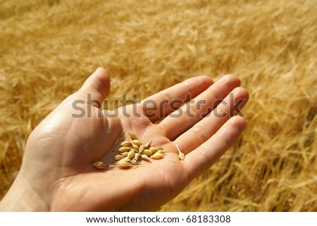 Agriculture, grain seed in hand, wheat, farming background.