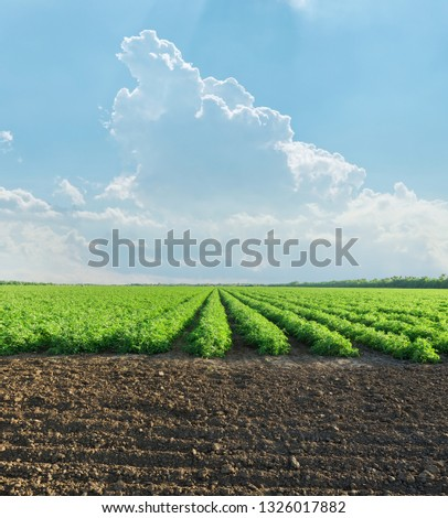 agriculture green field with tomatoes bushes in spring and clouds in blue sky over it #1326017882