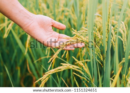 Agriculture, hand tenderly touching a young rice in the paddy field,Hand holding rice with warm sunlight