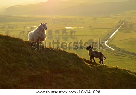 Agriculture Image Of A Sheep And Its Lamb In The Evening Light