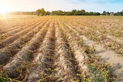 Agriculture in Germany. In the hot summer, the dryness destroys the cultivated plants. The plants are dried up in the rows on the dry, crusty soil.