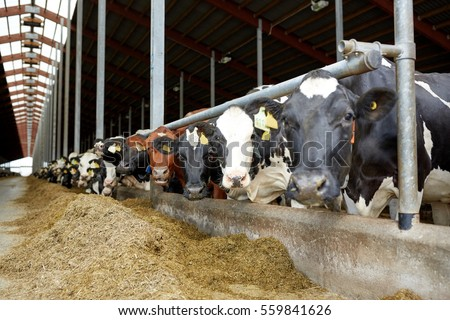 agriculture industry, farming and animal husbandry concept - herd of cows in cowshed on dairy farm