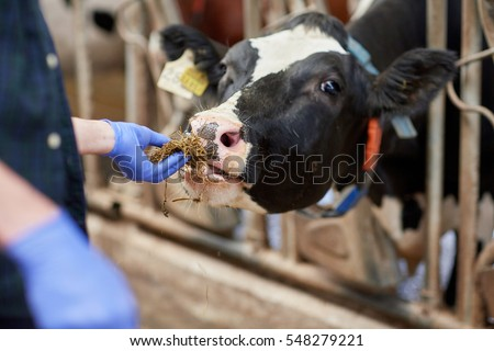 agriculture industry, farming, people and animal husbandry concept - close up of man or farmer feeding cow with hay in cowshed on dairy farm