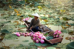 Agriculture is harvesting lotus in the swamp. It is an Asian way of life, such as Thailand, Laos and Vietnam.