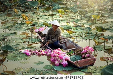 Agriculture is harvesting lotus in the swamp. It is an Asian way of life, such as Thailand, Laos and Vietnam. #691718908