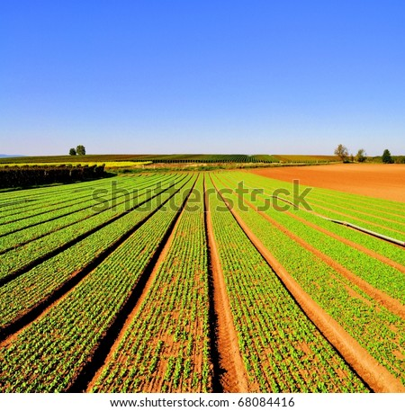 Agriculture landscape with rows of salad
