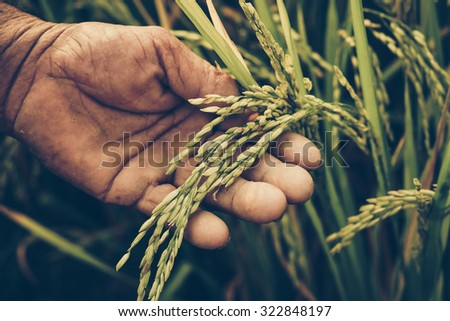 Agriculture/ Old hand tenderly touching a young rice in the paddy field ストックフォト ©