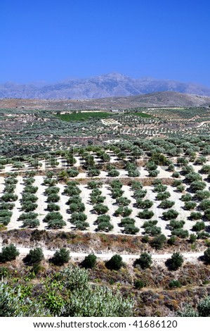 Agriculture: olive plantations in Crete, Greece.