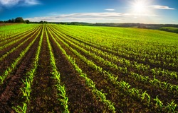Agriculture shot: rows of young corn plants growing on a vast field with dark fertile soil leading to the horizon