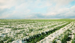 Agriculture. Snow-covered rows of wheat field. Green wheat under the snow.