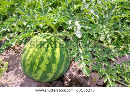 agriculture watermelon field big fruit summer water melon