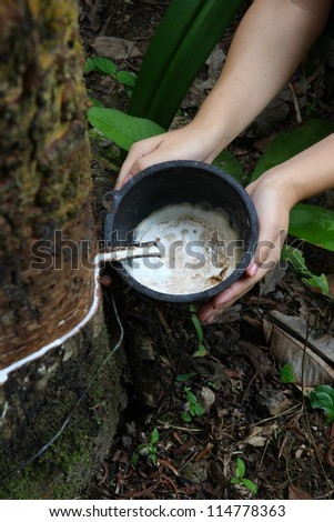 Agriculturist hand holding milk of rubber tree