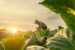 Agriculturist utilize the core data network in the Internet from the mobile to validate, test, and select the new crop method.Young farmers and tobacco farming