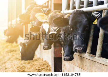 Agritech concept showing dairy cows feeding in a barn wearing wirelessly readable yellow tags for monitoring and collecting data. #1153104788