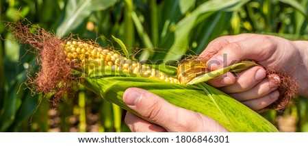 Photo of  agronomist are cleaning an ear of ripe yellow corn on the background of a corn field. environmentally friendly food. agriculture and agronomy. Ripe maize ready for harvest.