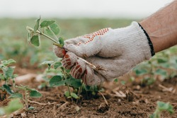 Agronomist examining soybean seedling in field, close up of hand holding Glycine Max sprout, selective focus