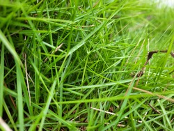 Agrostis stolonifera (creeping bent grass, creeping bent, fiorin, spreading bent, carpet bentgrass, rumput peking)