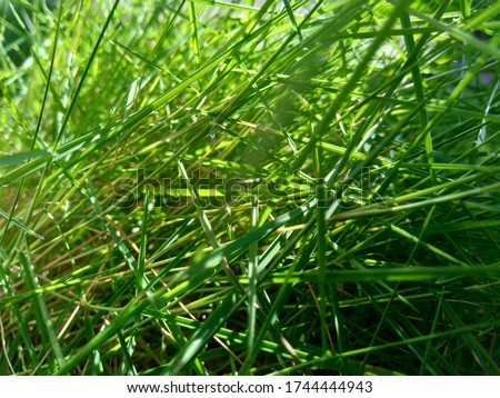 Agrostis stolonifera (creeping bent grass, creeping bent, fiorin, spreading bent, carpet bentgrass, rumput peking) with a natural background. It is a perennial grass species  in the family Poaceae. Stock fotó ©