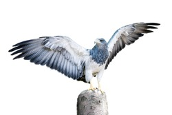 Aguja, a bird in the hawk family standing on a dead tree stump with spread wings, about to take flight. Isolated on white. Clipping Path included.