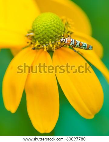 Ailanthus webworm moth feeds on flower.