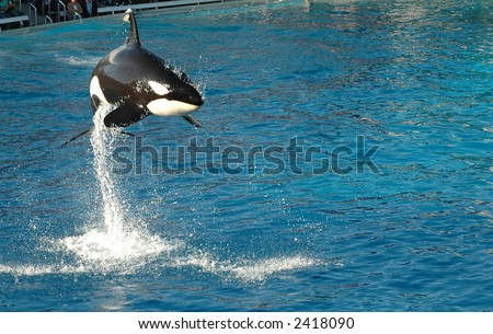 Air born Killer Whale in San Diego - stock photo