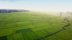 Air drone. beautiful rice fields with green young shoots farming organic crops with rice.