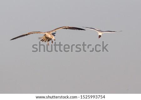 Air fight between young Herring Gull (Larus argentatus) and Black-headed Gull (Larus ridibundus), Rieselfelder Münster, North Rhine-Westphalia, Germany