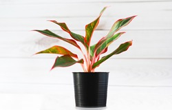 Air purifying plants in black pots And white wooden background wall. Thailand Siam Aurora. Red Aglaonema Growing Chinese Greenery.
