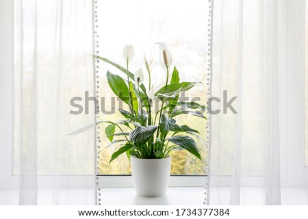 Air puryfing house plants in home concept. Spathiphyllum are commonly known as spath or peace lilies growing in pot in home room and cleaning indoor air. Foto stock ©