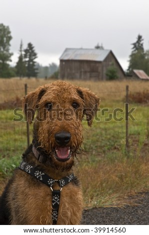 Airdale terrier dog sitting in front of a barn in a rural setting.