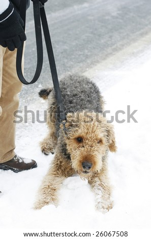 airedale terrier dog in snow with owner