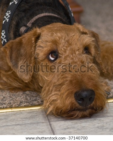 Airedale Puppies on Stock Photo   Airedale Terrier Dog Laying Indoors On Floor Looking Up