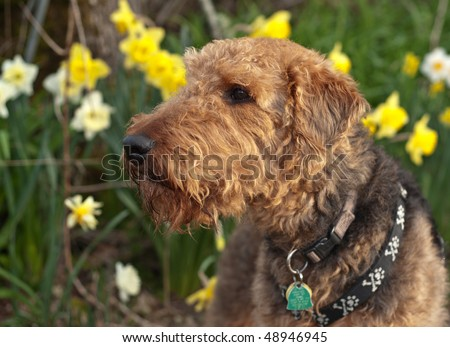Airedale terrier dog sniffing the air in a spring setting with daffodils