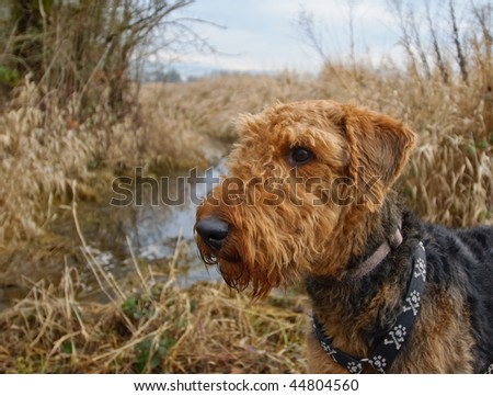 Airedale terrier dog standing in front of water and wheat field.