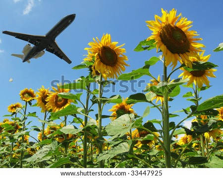 Airplane taking off over sunflowers