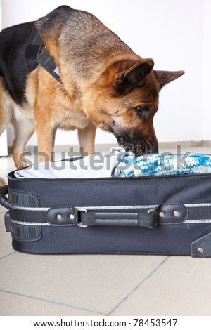 Airport canine. Dog sniffs out drugs or bomb in a luggage. - stock photo