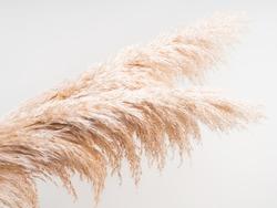 Airy botanical background with fluffy pampas grass on light gray. Interior design boho style plant decor